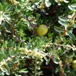 Arganöl aus Marokko
